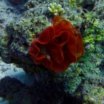 "Eggs from the Gigant Nudibranch ""The Spanish Dancer"""