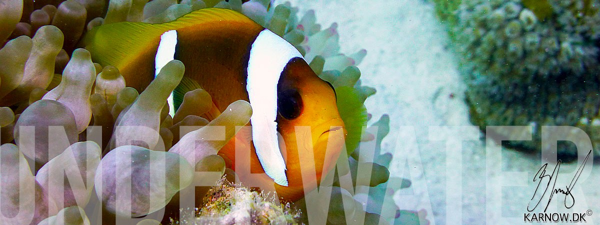 Red Sea Egypt, Clownfish, Hurghada